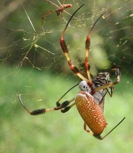 Golden silk spider Photo credit: Wikipedia