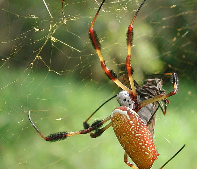Golden silk spider Photo credit: Wikipedia